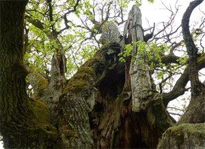 Bara riktigt gamla ekar kan bli mulmträd.